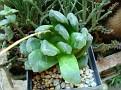 Haworthia truncata x emelyae hybrid