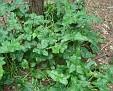 Arum maculatum (7)