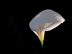 Floating lily