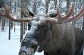 Vittangi Moose Park (13)
