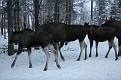 Vittangi Moose Park (30)