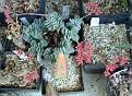 Crassula fulcata minor x morgans beauty