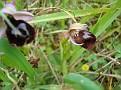 Ophrys ferrum - equinum (4)