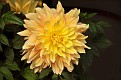 Chrysanthemum KF6