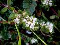 Paronychia argentea (2)