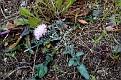 Centaurea aegialophila (1)