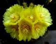 Notocactus  (4)