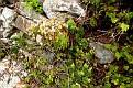 Sempervivum marmoreum (6)