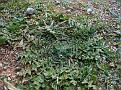 Centaurea benedicta ( Cnicus benedictus )
