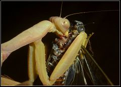 Sphodromantis viridis eats cicada