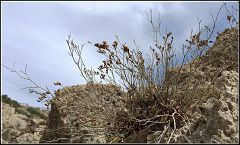 Limonium virgatum, ακρωτήριο Ηραίου ( Μελαγκάβι )