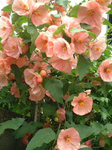 Abutilon X hybridum cv. Old Rose