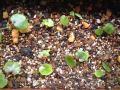 Begonia partita (young seedlings4)