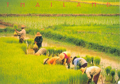 Thailand - RICE FIELDS NS
