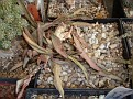 Euphorbia francoisae ( Dormancy )