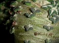 Ariocarpus kotschoubeyanus monstrose