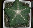 Astrophytum myriostigma ' Kikko Hekiran ' var. monstrose