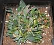 Gasteria nigricans f. monstruosa