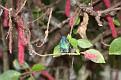 IMG 2023 - Jeweled Humming Bird
