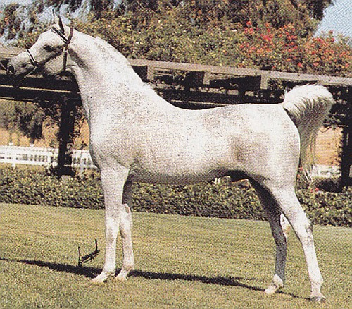 MAGNAT #60574 (Aswan x Monopolia, by Priboj) 1966-1988 grey stallion bred by Tersk Stud; imported to the US 1969 by Halberg Arabians. Sired 197 registered purebreds in the US.