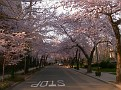 to go to Wooster Square where the Cherry Blossoms are finally blooming