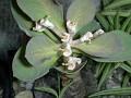 Monadenium globosum