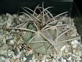 Gymnocalycium mackieanum