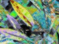 Trout Lily (Erythronium americanum or albidum) aka Dogtooth violet
