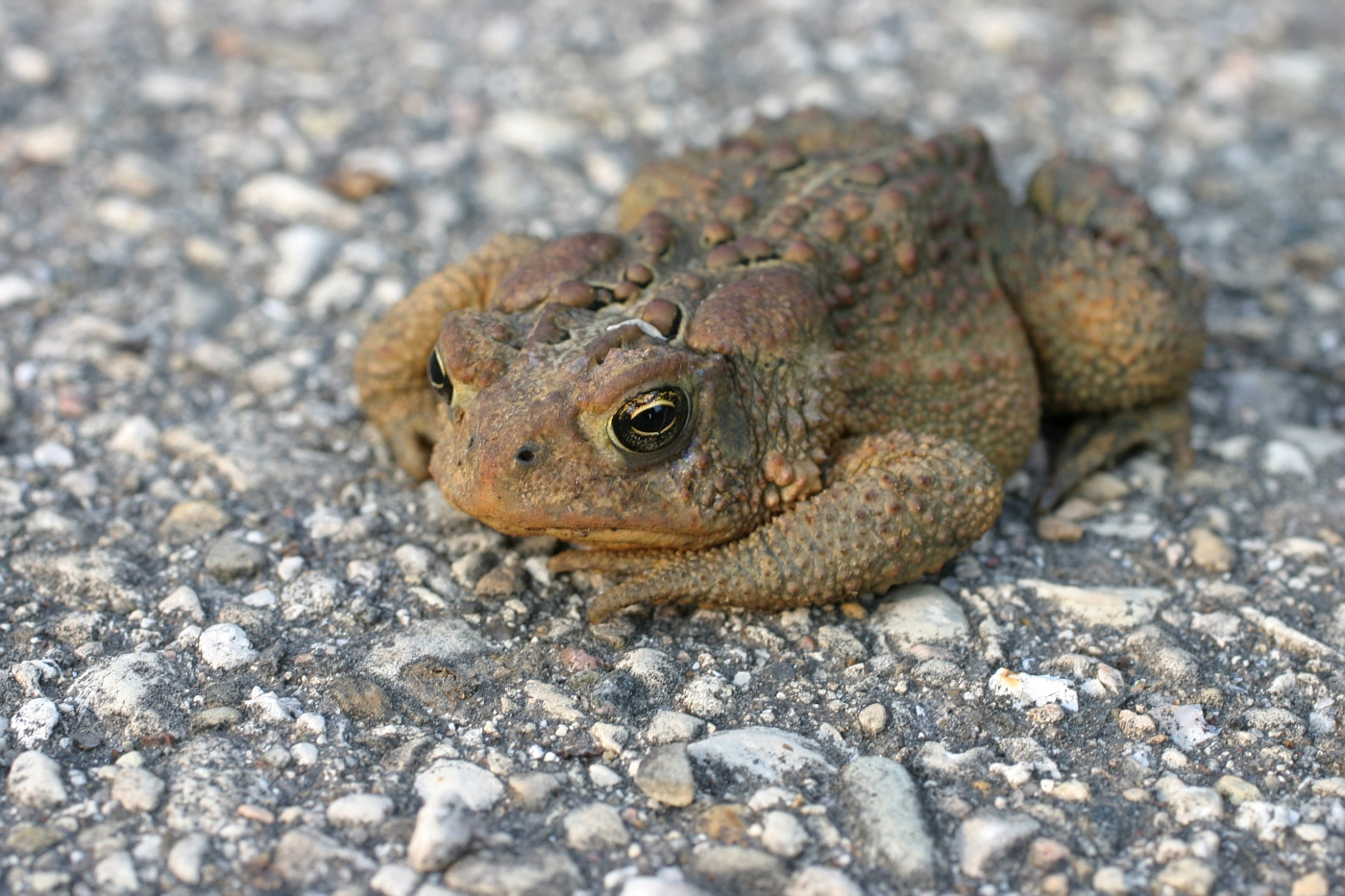 American Toad #3