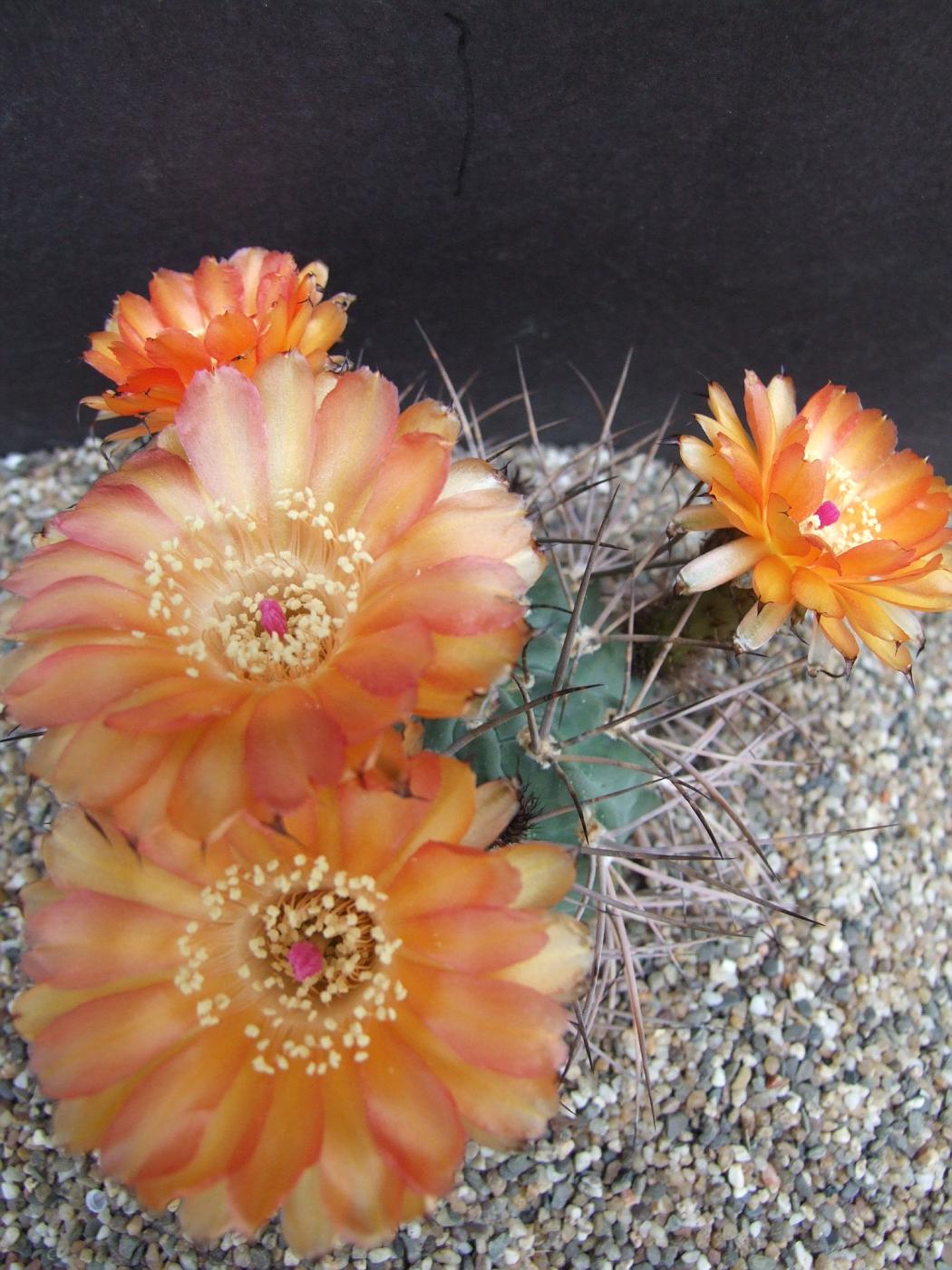 Photo Acanthocalycium Minutum Cactus Acanthocalycium Arequipa