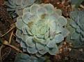 Echeveria sp