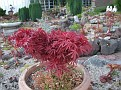 Acer atropurpereum