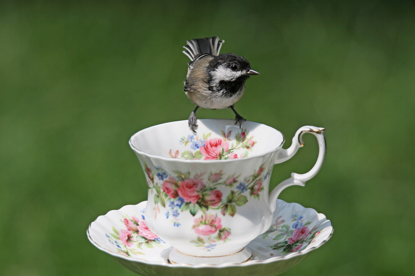 Chickadee at Teacup #26