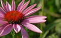 Echinacea - Cone Flower 1