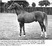 *COUNT D'ORSAZ #14388 (Rissalix x Shamnar, by Naziri) 1945-1976 chestnut stallion bred by the Estate of G M Yule; imported to the USA 1958 by Bazy Tankersley/Al-Marah Arabians; sired 171 registered purebreds in the US.