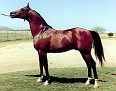 *BASK++ #25460 (Witraz x Balalajka, by Amurath-Sahib) 1956 bay stallion imported to the US from Poland 1963 by Lasma