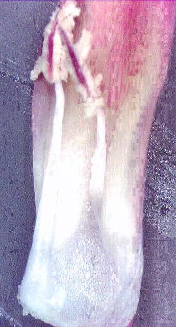 Echeveria dactylifera petal