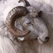 05- Bighorn Sheep NA