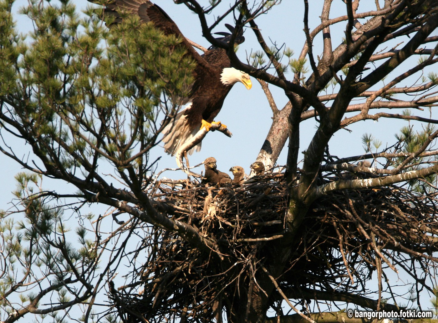 EDITED - Added Eaglets