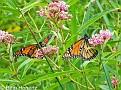 MonarchButterflies001
