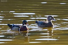 Wood Duck Couple