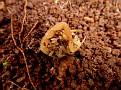 Σκορπιός - Mesobuthus gibbosus (4)