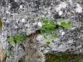 Aristolochia (2)