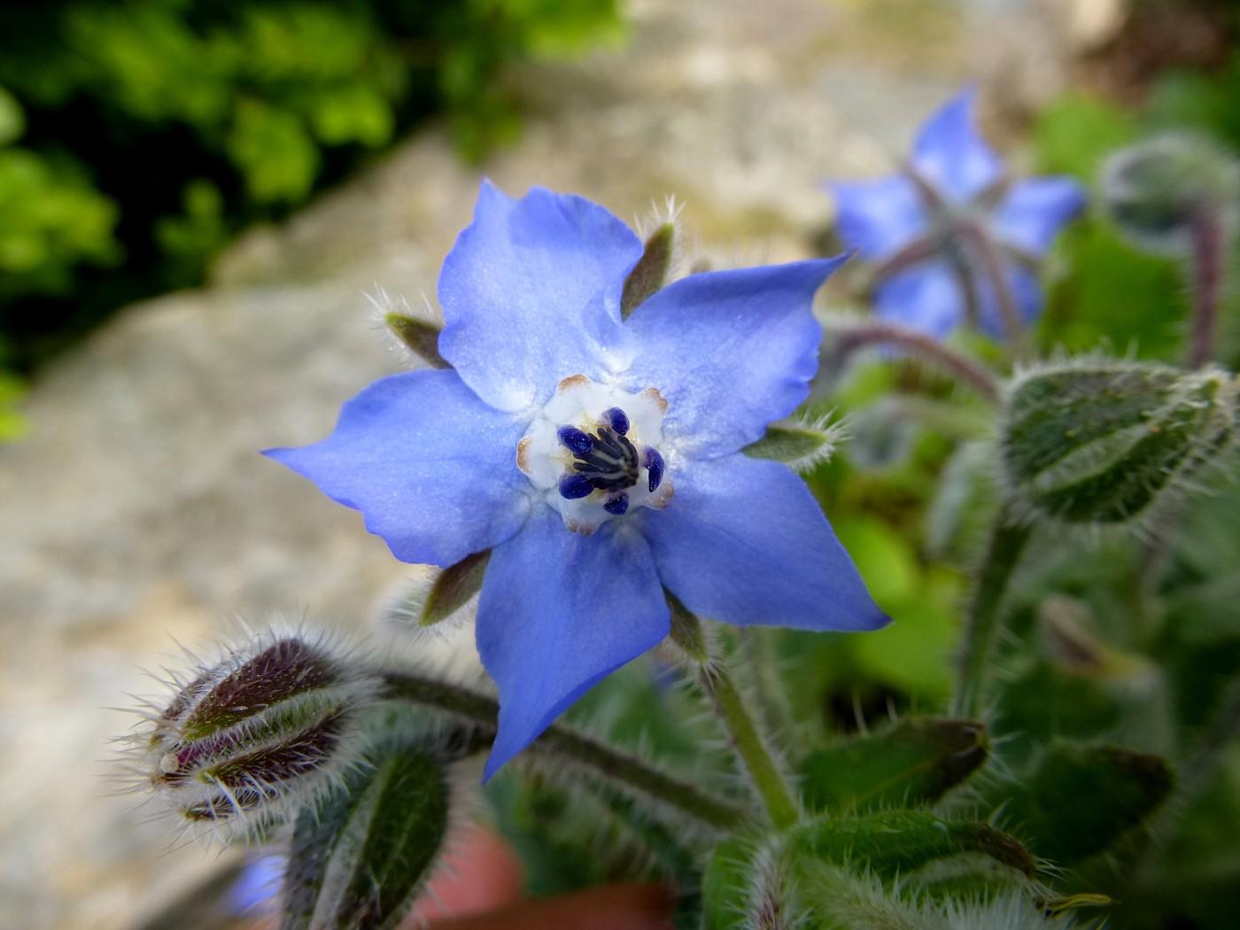 Borago officinalis (4)