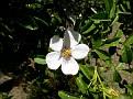 Rosa micrantha subsp  chionistrae (15)