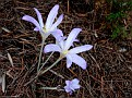 Colchicum sfikasianum  (4)