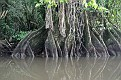 These wetland trees exhibit buttressing,