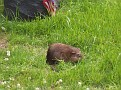 This is a Muskrat