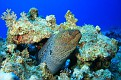 Giant Moray Eel