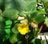 Uncarina roeoesliana (2)